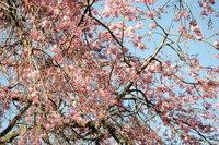 枝垂れ桜2 4.14.JPG