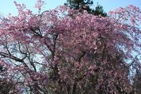 枝垂れ桜3 4.14.JPG