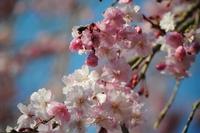 4.19枝垂れ桜2.JPG