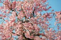 43.19桜1.JPG