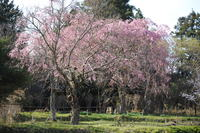 枝垂れ桜4 4.14.JPG