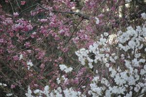 4.12桜1.JPG