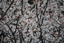 4.17野乃花の庭から3.JPG