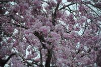 5.18桜2.JPG