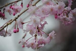 4.16枝垂れ桜1.JPG
